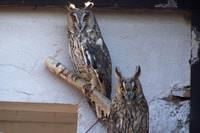 Asio otus - Long-eared Owl