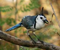 Image of: Calocitta formosa (white-throated magpie-jay)