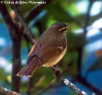 Large-billed Leaf Warbler - Phylloscopus magnirostris