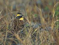 Yellow-throated Bunting (Emberiza elegans) photo