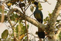 Great Blue Turaco - Corythaeola cristata