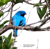 Plum-throated Cotinga - Cotinga maynana