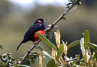 Scarlet-bellied Mountain-Tanager - Anisognathus igniventris