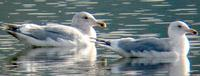 ...Hybrid Herring x Glaucous-winged Gull (right) with hybrid Glacous-winged x Western Gull. Photo b