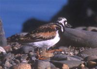 Ruddy turnstone at MSP © 2000 Jim Gain