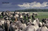 KONIK PONIES from BIOFAAN