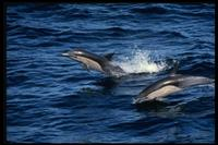 Short-Beaked Common Dolphin 314098.jpg (105586 bytes)