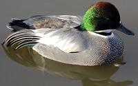 Falcated Duck Anas falcata