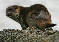 Otters thrive on the Moray Firth