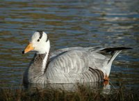 Bar-headed Goose at Catfirth - Paul Sclater