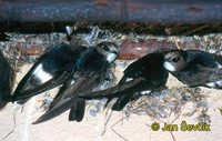 Photo of rorýs domovní, Apus affinis, Little Swift, Haussegler