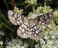 Chiasmia clathrata - Latticed Heath