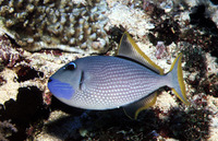 Xanthichthys auromarginatus, Gilded triggerfish: fisheries, aquarium