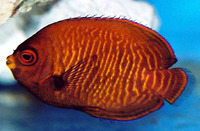 Centropyge aurantia, Golden angelfish: aquarium