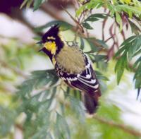 Image of: Parus xanthogenys (black-lored tit)