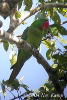 Great-billed Parrot - Tanygnathus megalorynchos