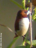 Five-coloured Munia - Lonchura quinticolor