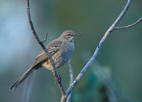 Bahama Mockingbird (Mimus gundlachii) photo