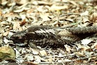White-throated Nightjar - Eurostopodus mystacalis