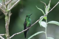 Green-crowned Brilliant - Heliodoxa jacula