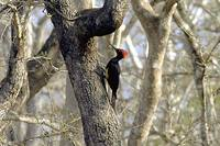 White-bellied Woodpecker - Dryocopus javensis