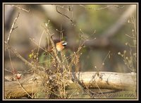 White-whiskered Spinetail - Synallaxis candei