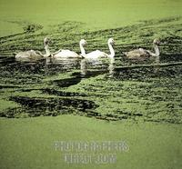 Young swans ( Cygnus olor ) in pond with duckweed stock photo