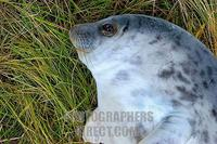 Grey Seal ( Halichoerus grypus ) pup . Donna Nook . England . stock photo