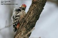 Dendrocopos leucotos , 큰오색딱다구리 - White-backed Woodpecker