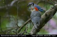 Red-bellied Woodpecker (female) - Ohio