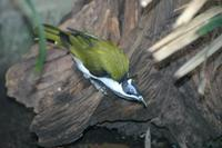 Entomyzon cyanotis - Blue-faced Honeyeater