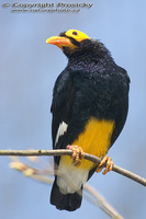 Mino dumontii - Yellow-faced Mynah