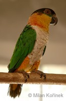 Pionites melanocephala - Black-headed Parrot