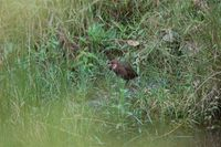 White-throated Rail - Dryolimnas cuvieri