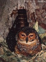 Spotted Wood-Owl - Strix seloputo