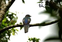 Black-headed Trogon - Trogon melanocephalus