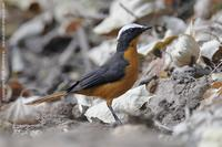 White-crowned Robin-chat, Cossypha albicapilla
