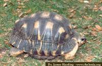 Radiated Tortoise, Geochelone radiata