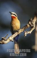 White fronted bee eater , Merops bullockoides , Kafue National Park , Zambia stock photo