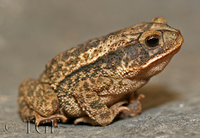 : Bufo nebulifer; Gulf Coast Toad