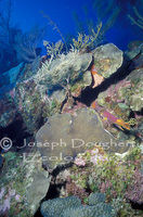 : Bodianus rufus; Spanish Hogfish