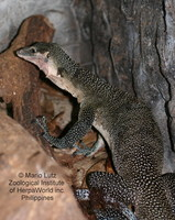 : Varanus jobiensis; Peachthroat Monitor