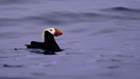 ...A splendid Tufted Puffin (Fratercula cirrhata) in breeding condition. Common throughout the Aleu