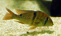 Geophagus harreri, Maroni eartheater: aquarium