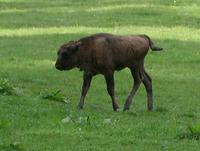 Image of: Bison bonasus (European bison)
