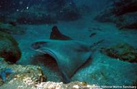 Myliobatis californica - Bat Eagle Ray