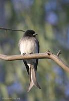 Image of: Dicrurus caerulescens (white-bellied drongo)