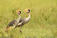 Gray Crowned-Crane - Balearica regulorum