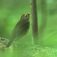 Bicknell's Thrush (Catharus bicknelli) photo