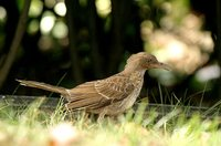 Pearly-eyed Thrasher - Margarops fuscatus